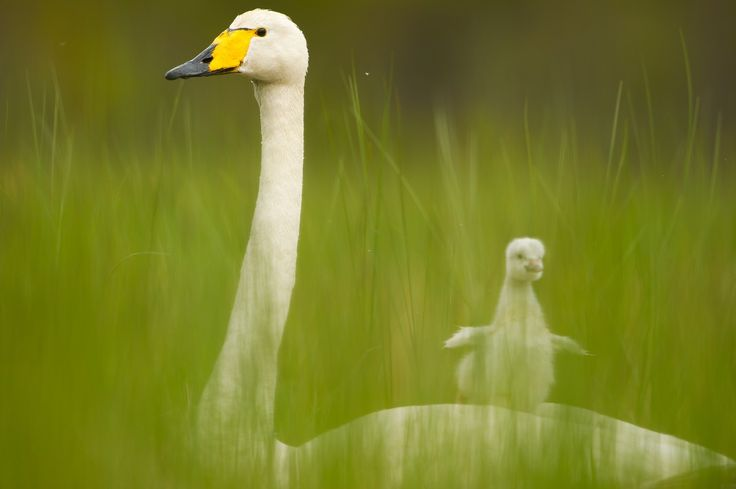 09 June 2010 Kuumo, Finland A whooper swam is vigilant over a newly hatched cygnet.
