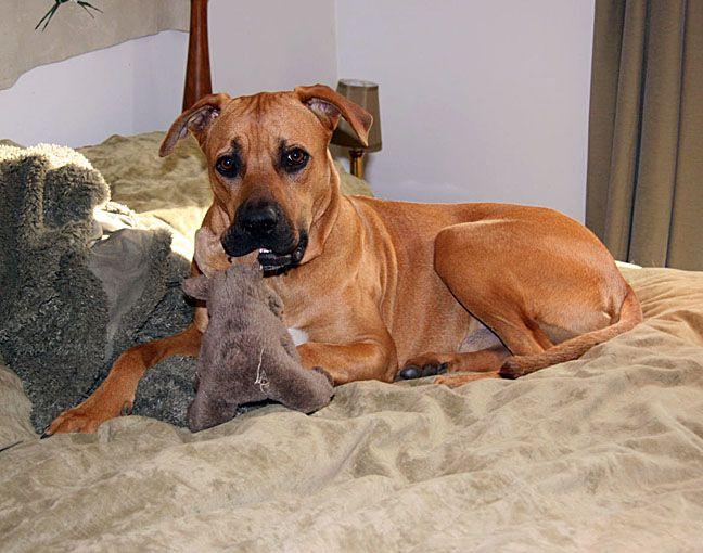 Brown Great Dane Boxer Mix Puppies Wallpaper | Animals ...  Brown Great Dan...