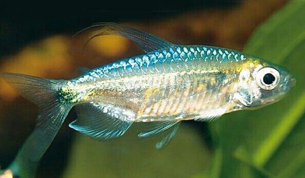 Blue Diamond Congo Tetra Aquarium Fish Fish Pet Beautiful Fish