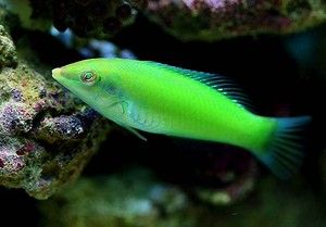 GREEN WRASSE  2 - 3  INCHES marine fish safe with coral and frags LPS and SPS