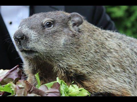 La marmota Phil predice una primavera temprana - YouTube