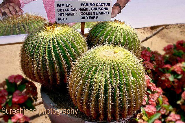 Cactus | from sureshjose photography | Suresh jose | Flickr