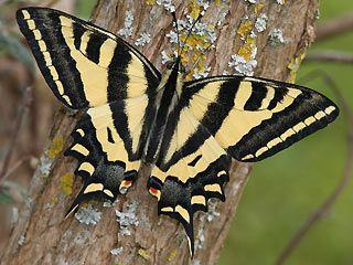Südlicher Schwalbenschwanz   Papilio alexanor   Southern Swallowtail Schmetterlinge und Raupen Südeuropas Griechenland Italien Südfrankreich Spanien Portugal Korsika Sardinien Kroatien Schmetterling