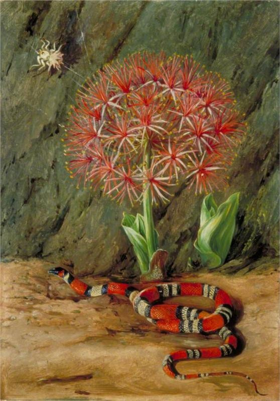 'Flor Imperiale, Coral Snake and Spider', by Marianne North in Brazil, 1873  Marianne North