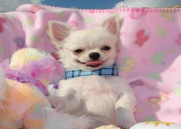 Teacup Chihuahua Breeders | Teacup Toy Chiapoms Chihuahua Pomeranian For Sale Adoption From