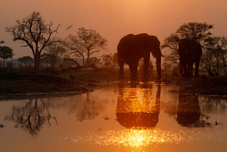 Frans Lanting - Elephants at dusk
