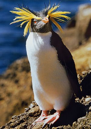Rockhopper penguin will show off their yellow eyebrows to try and attract a mate. Happy Feet !