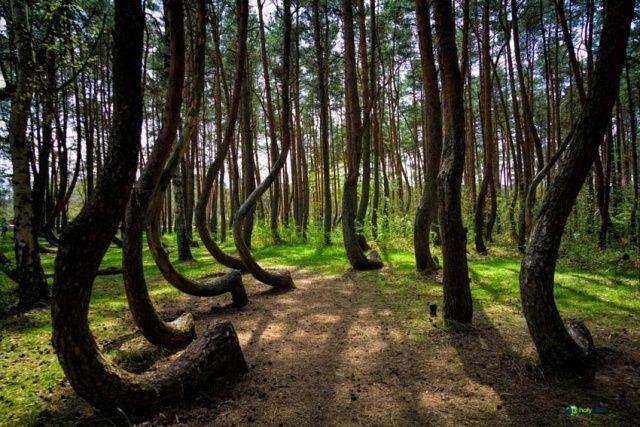 Lengyelország nyugati részén, Szczecintől nem messze található a görbe erdő.