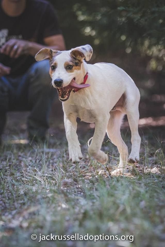 Georgia Jack Russell Rescue, Adoption and Sanctuary | Adoptable Puppy, Merrill #running #dog