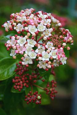 Viburnum tinus  hardy zones 8-10  a no go in New England but will look for this beauty in my travels!
