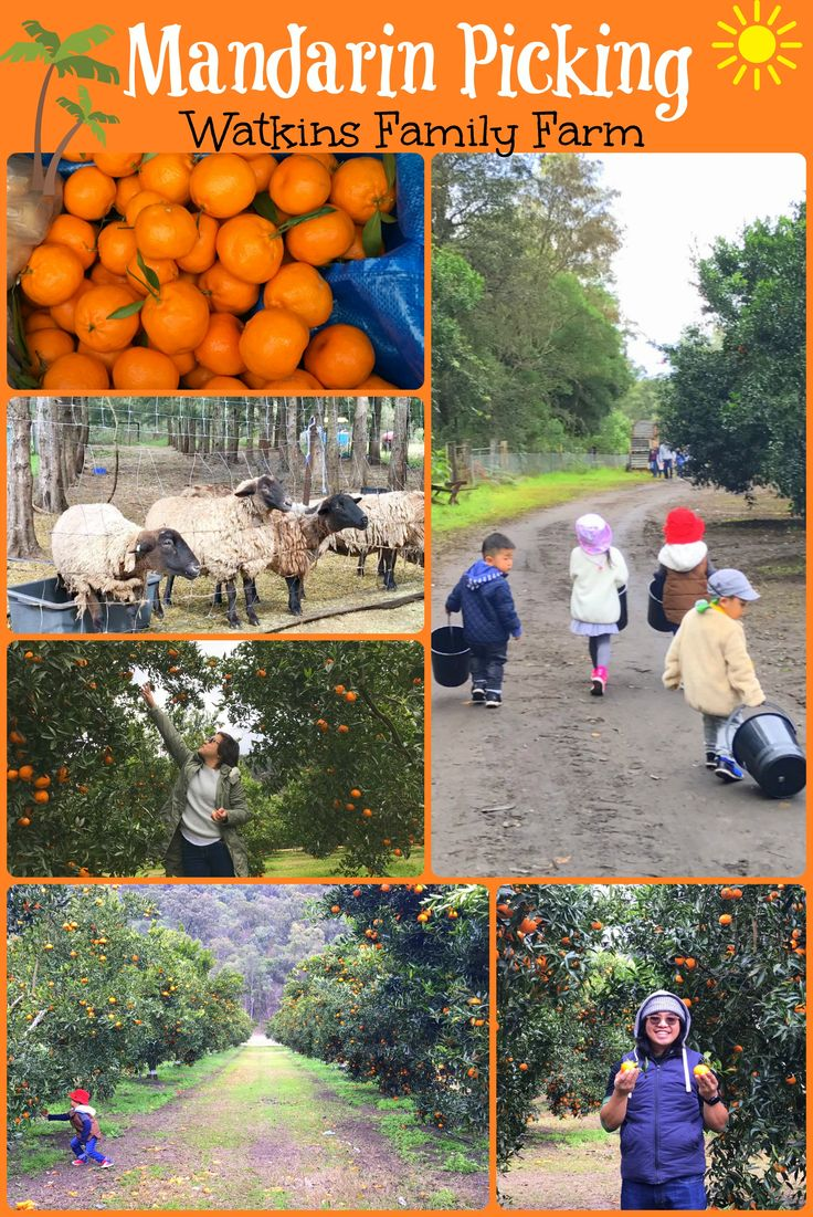 Mandarin Picking at Watkins Family Farm, Sydney Australia