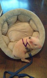 What to Get for a New Pet Mini Pig