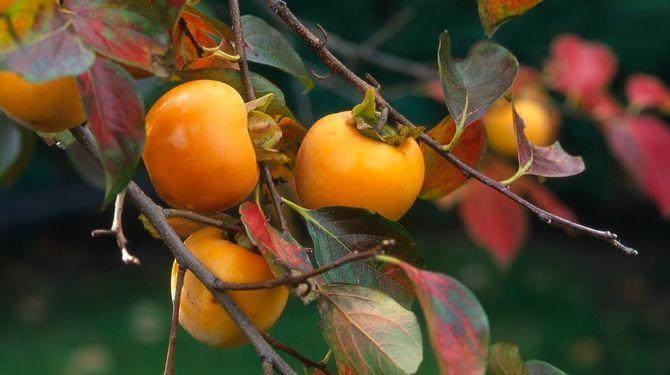 Ebenovník rajčiakový (Diospyros kaki) je strom s bohatou úrodou
