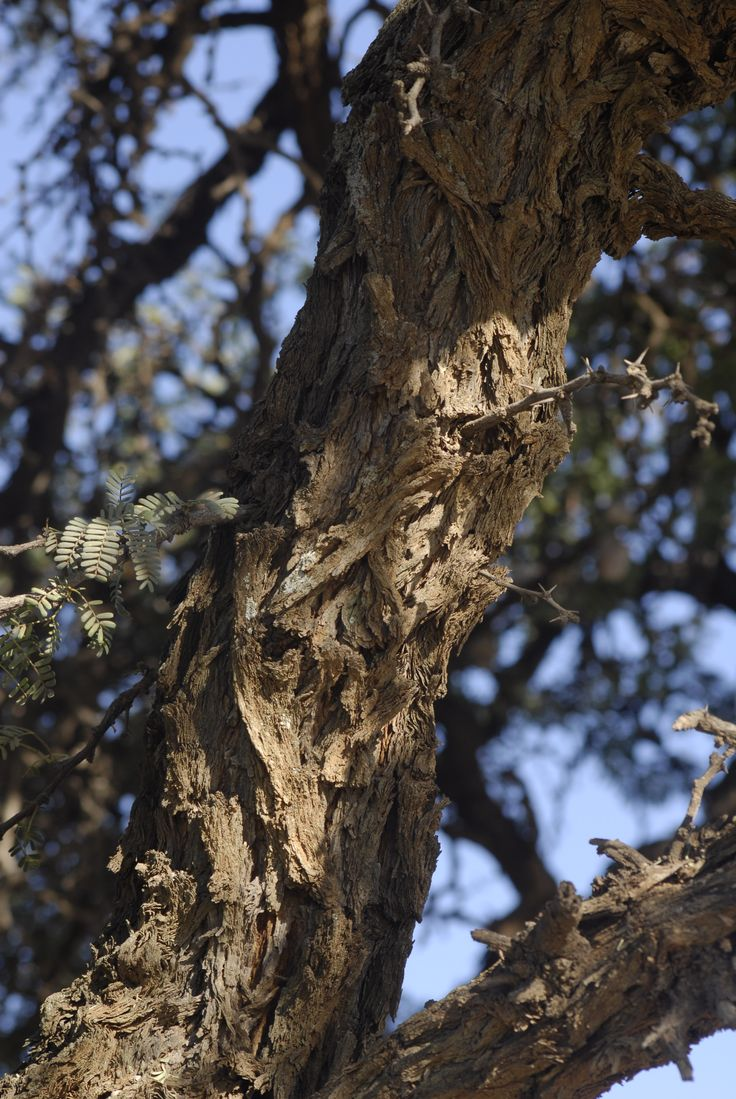 Bark of acacia erioloba camel thorn tree spotting