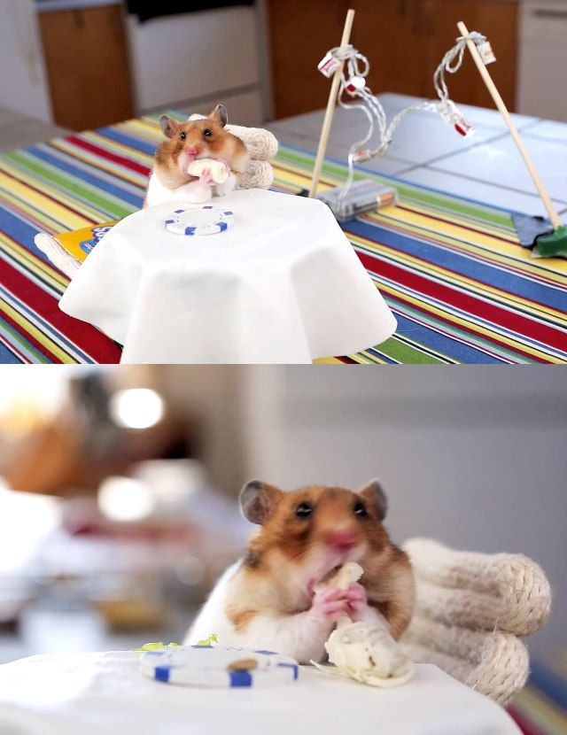 Everything Is Alright In The World: Video Of A Hamster Eating Hamster-Size Burritos At A Little Patio Table