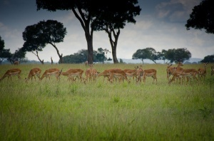 Maasai Mara, Kenya; form a post about the savanna hypothesis in the environmental psychology