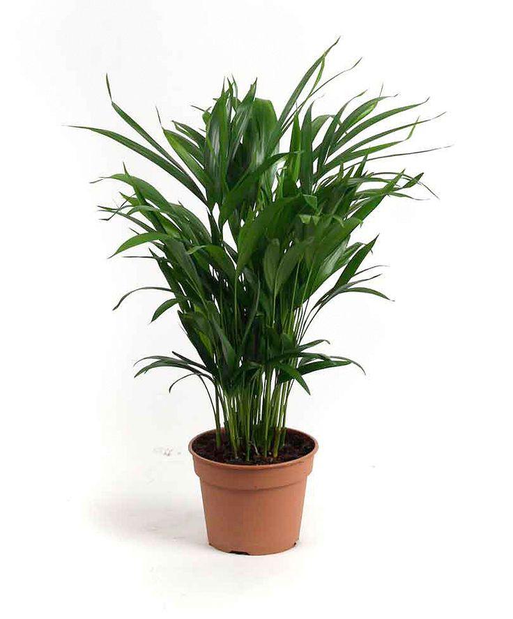 7 best piante d 39 appartamento images on pinterest house for Pianta palma