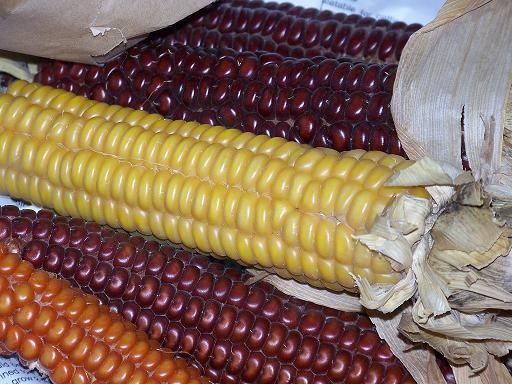 flint corn | Saving seeds and saving seeds | Throwback at Trapper Creek