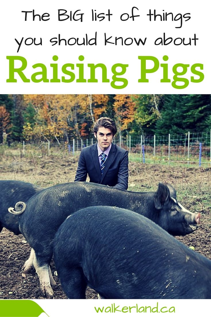 Our experience with raising pigs was a good one. In fact, we absolutely loved having them on our homestead. The pigs taught us lessons over the spring, summer and autumn and they left us with a sincere appreciation for what it truly takes to put meat on our family dinner table. Let us take you through what you should know when raising pigs.