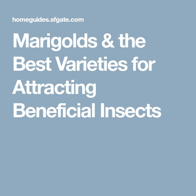 Marigolds & the Best Varieties for Attracting Beneficial Insects