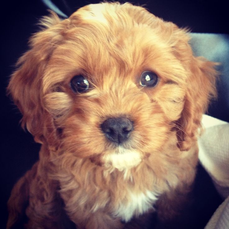 Cavapoo puppy! Dying.