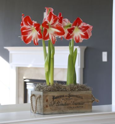 This wooden box with rope handles and charming french text is perfect for growing amaryllis and & 99 best Indoor Bulbs images on Pinterest | Bulbs Indoor and ... Aboutintivar.Com