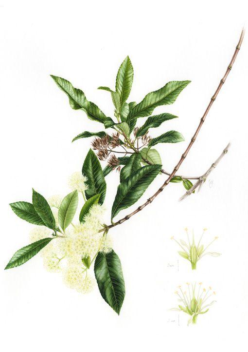 IŞIK GÜNER Botanical Art. Caldcluvia paniculata. Chile