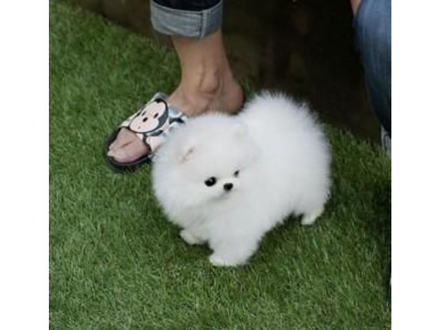 Pomeranian Puppy Available Animals Anaheim California Announcement 95126 Pomeraniannain With Images Pomeranian Puppy Teacup Pomeranian Puppy Pomeranian