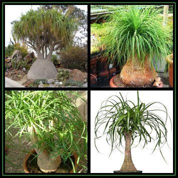 Buy Ponytail Palm - Beaucarnea recurvata Seeds - 10 Seed Pack - Nolina recurvata - Exotic Tropical Treefor R4.50