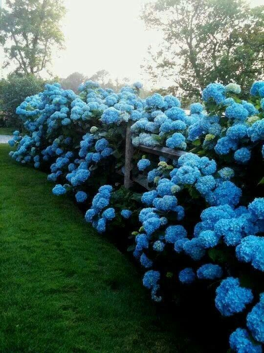 My idea of heaven...blue hydrangeas along a split rail fence