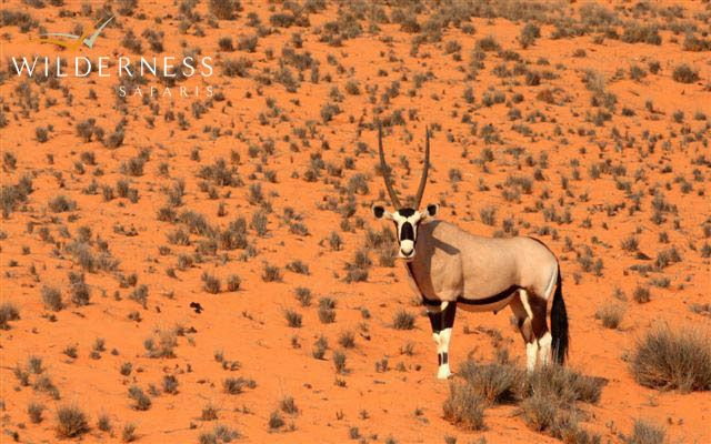 Oryx in the dunes near Serra Cafema - the drought is severely challenging the wildlife. #Safari #Africa #Namibia #WildernessSafaris