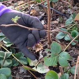 How To Prune An Apple Tree Diagram Wiring For 3 Phase Forward Reverse Starter Motor Best 25+ Raspberry Plants Ideas On Pinterest | Growing Raspberries, Rasberry Bushes And ...