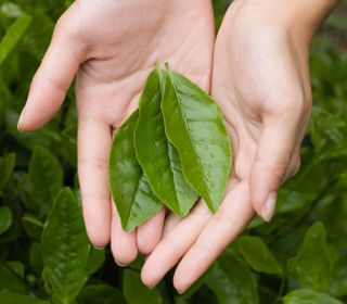 How to Grow Your Own Tea. The second page tells how to prepare & brew the tea once harvested.