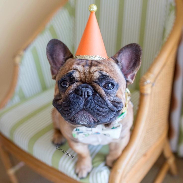 Taco Bear, the French Bulldog Birthday Boy❤️