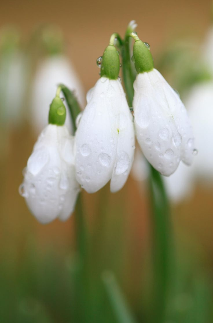 Flowers In The Spring Forest Snowdrops Macro Photography wallpaper