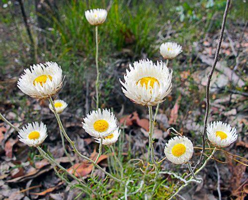 Hoary Sunray (Leucocrysum alibicans)