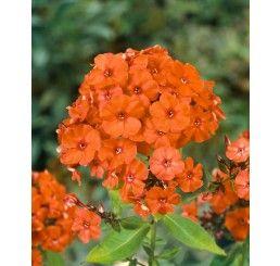 Phlox paniculata 'Orange Perfection' / Plamenka latnatá, K9