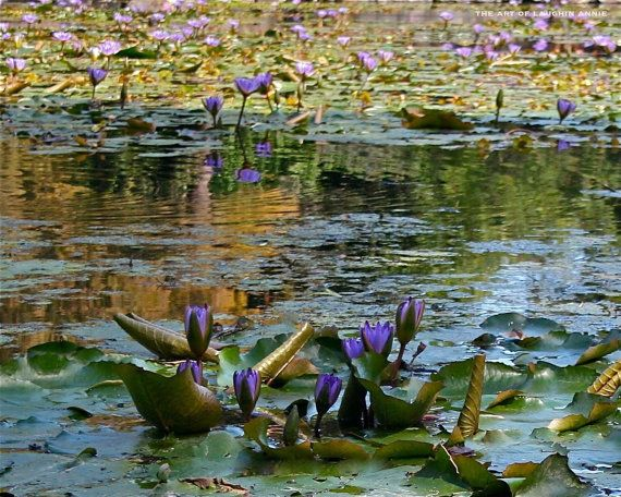 Blue Lotus Pond Water Garden Professional by theartoflaughinannie