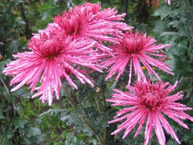 Japan National Flower national flowers japan