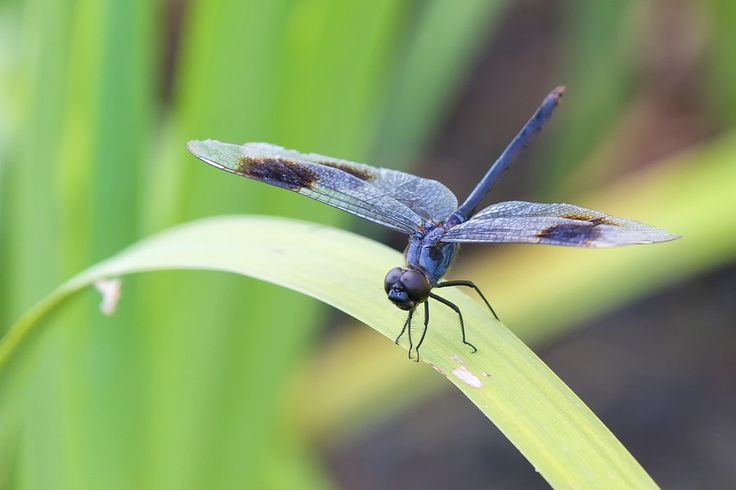 Dragonfly landed on the top of grass leaf - heliport.