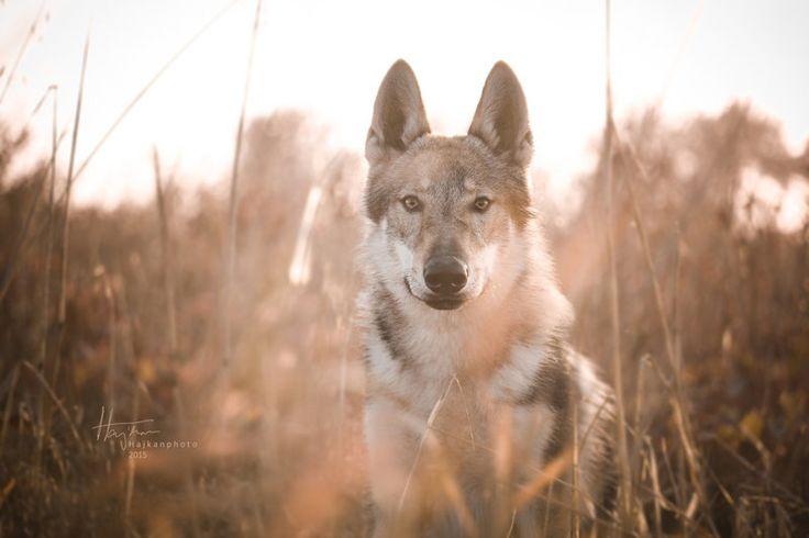 Vlk v rosti