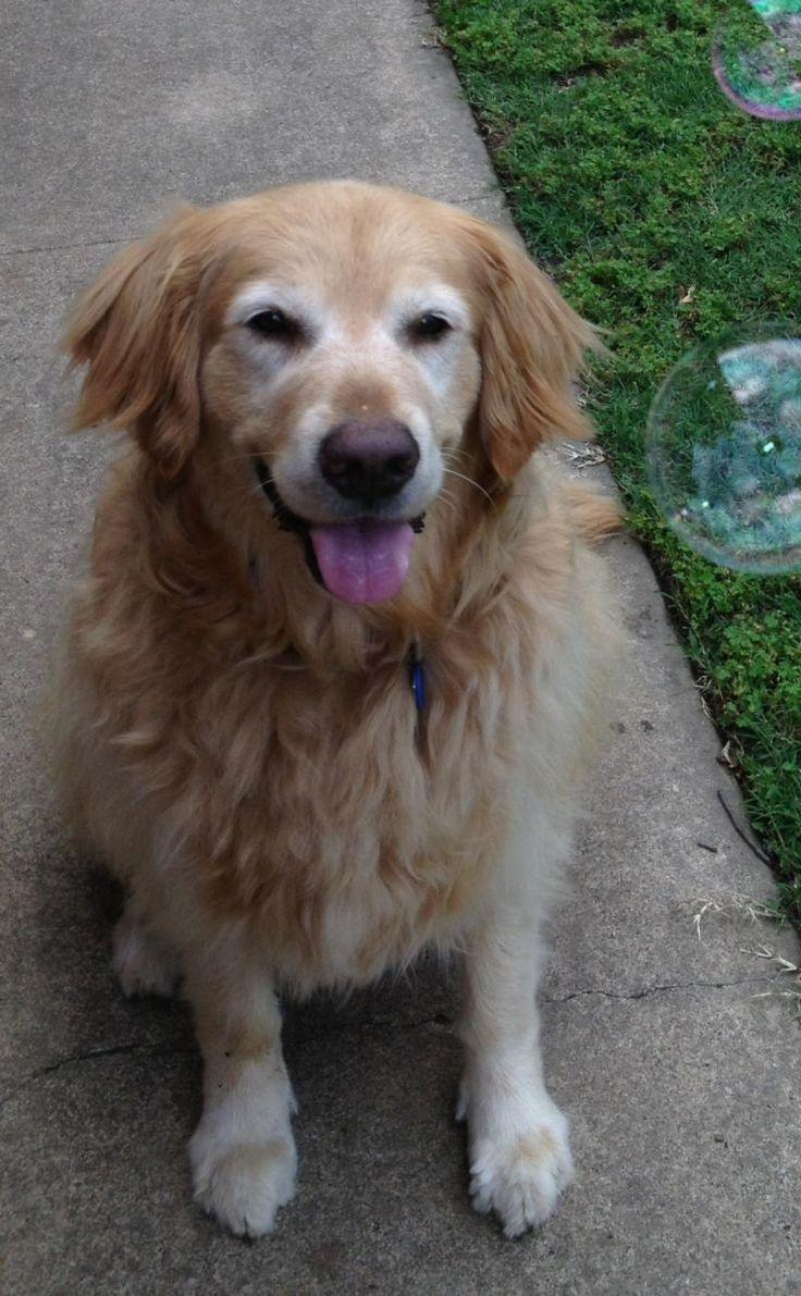 Best 25+ Golden retriever rescue ideas on Pinterest | Dog ...