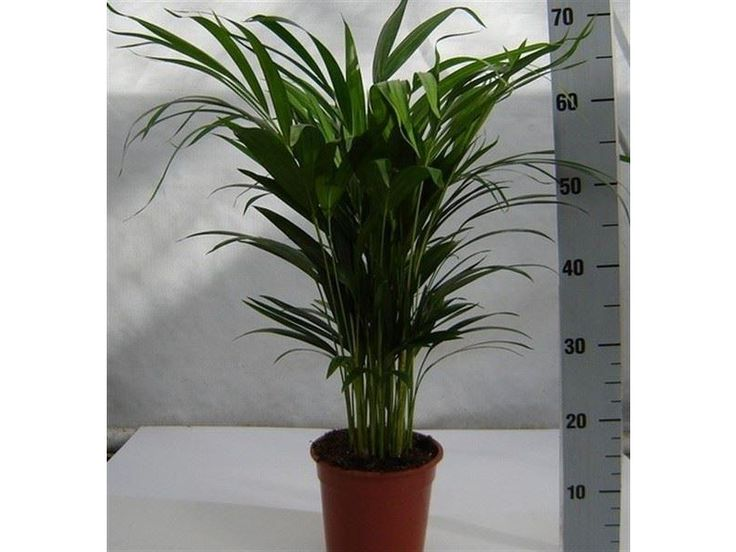 dypsis lutescens 5565cm tall