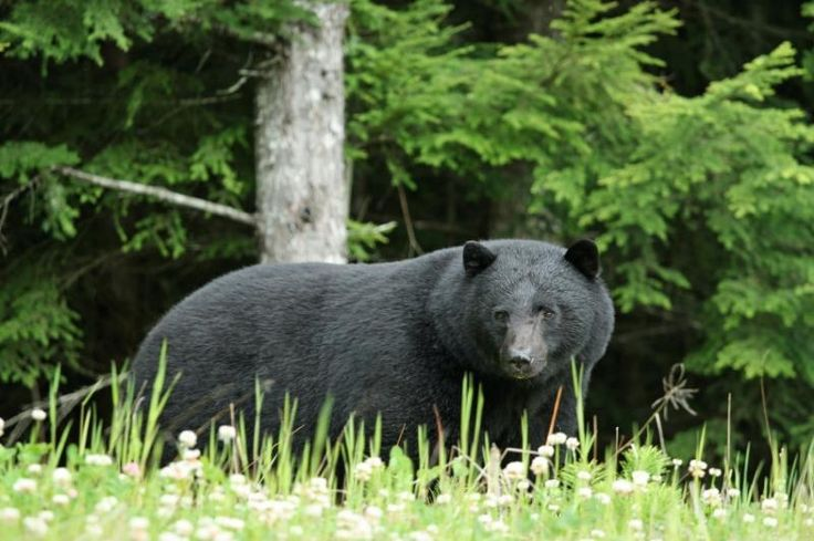 A new study of fatal black bear attacks in North America shows that predatory male bears are responsible for most historical attacks. Credit: iStockphoto