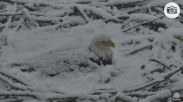 Caroline Gottlieb @CarolineGNBC  Mar 19 The Iowa eagle is getting snowed in! Gotta protect the nest! cc @DylanDreyerNBC  http://explore.org/live-cams/player/decorah-eagles-north-nest …