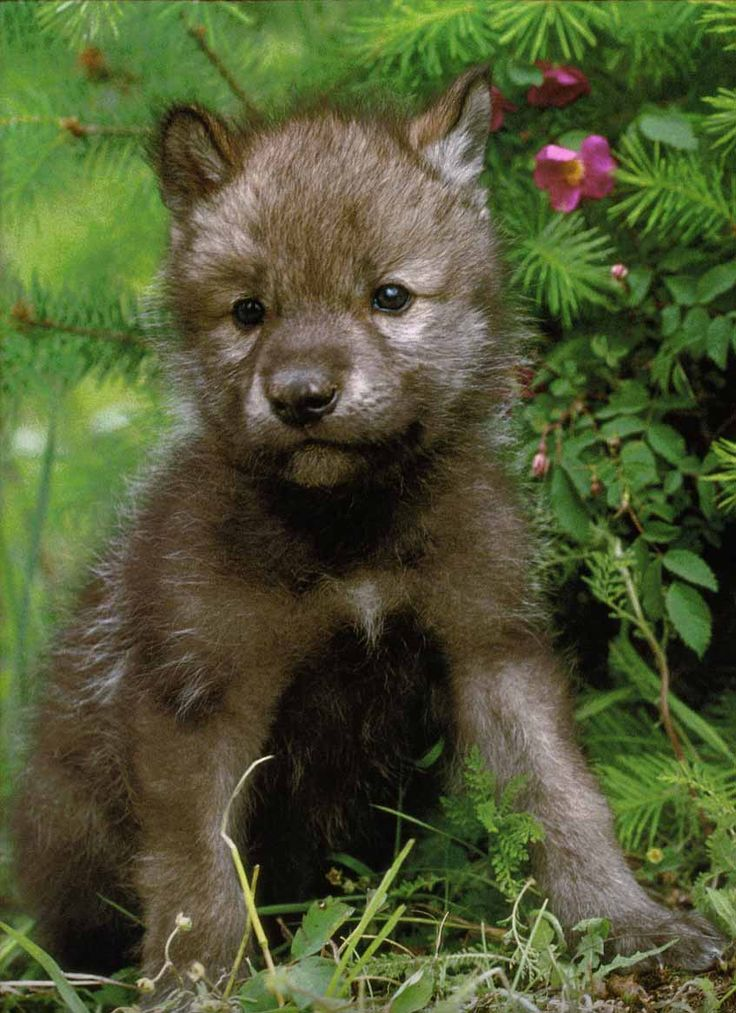 Wolf pups.  (Unlike our domestic dogs) develop and grow much quicker. This is due for survival in the wild.
