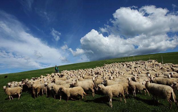 Więcej na: http://puszystaowca.pl/wypas-owiec-jozefow/