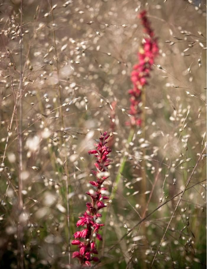 77 best persicaria images on pinterest backyard ideas for Piet oudolf plant list