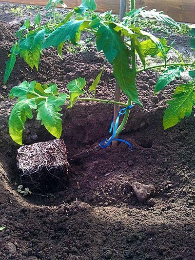 Tomatenpflanzen einpflanzen – Vaters Methode — P…