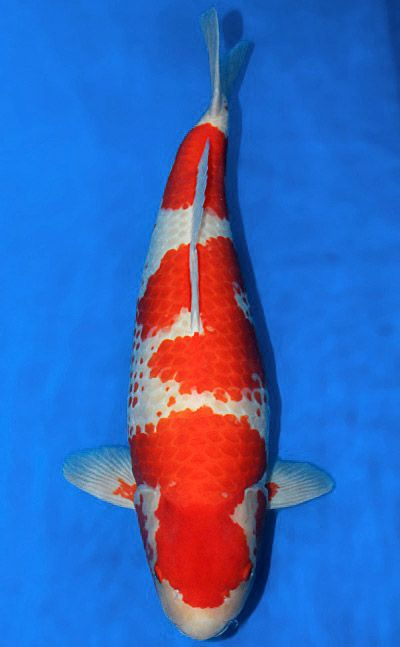"Kanoko Kohaku koi Kanoko is a generic term meaning ""fawn"" and in a Kohaku refers to the red dappled, almost speckled pattern with the hi on the center of the scale. The dappling effect can be a single hi pattern in the middle of white scales, but it has to have some grouping in close proximity."
